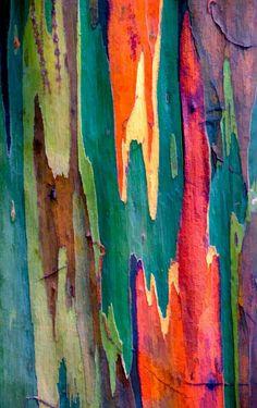 Eucalyptus Deglupta Tree