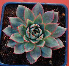 """Echeveria """"Parva""""   Leo González   Flickr"""