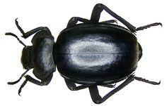 Morica planata (Fabricius, 1891) by urjsa, via Flickr