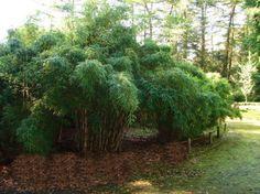 Fargesia robusta 'Campbell', Zebra Bambus
