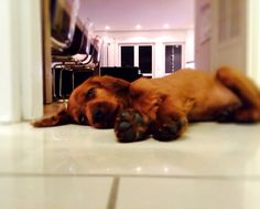 Jack ❤️ Irish Setter puppy