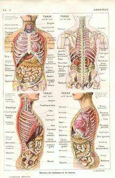 Anatomie thorax - abdomen