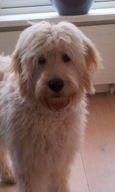 Bo,Goldendoodle Medium Sized Dogs, Medium Dogs, Dog Love, Puppy Love, Golden Doodles, Mini Goldendoodle, Labradoodles, Doodle Dog, Little Doodles