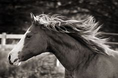 Shelley Paulson Photography | Minnesota Equine Photographer | Horses in Black & White Gallery