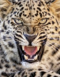 young female Amur leopard displaying a very expressive face ✯ ωнιмѕу ѕαη∂у