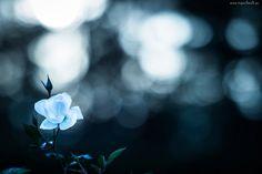 Niebieska, Róża