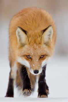 Red Fox byMaxime Riendeau