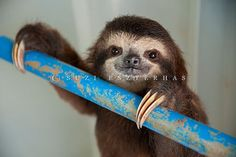 Cute Sloth Baby by Suzi Eszterhas