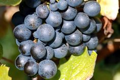 "Michael Rays "" Wine grapes"" prints and greeting cards available at http://fineartamerica.com/profiles/3-michael-ray.html"
