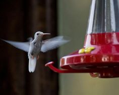 Bird-watchers spot rare albino hummingbird~This extremely rare albino ruby-throated hummingbird visited a backyard feeder at Lake Waukomis, Missouri for three weeks. Hummingbirds  migrated southward in the summer and backyard feeders can be a help to them during this drought.Photo courtesy Linda Williams