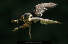New Zealand Falcon http://www.wingspan.co.nz/birds_of_prey_gallery_falcon.html