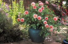Planting roses in pots helps one protect the plant from varying environmental conditions. Here are several guide to growing roses in pots. Roses David Austin, David Austin Rosen, Anne Boleyn, Plantar Rosales, Comment Planter Des Roses, Planter Rosier, Drift Roses, Boxwood Landscaping, Fragrant Roses