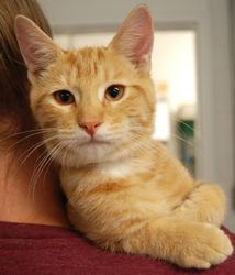 Regis is an adoptable Domestic Short Hair Cat in Huntley, IL. Born 04/11/12 � In foster care. Can be seen by appointment with your approved application. Regis arrived at AHS with some congestion and a...