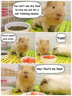 If guinea pigs could talk! :-D | Guinea pig stuff | Pinterest