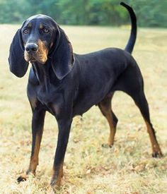 Black and Tan Coonhound breed info,Pictures,Characteristics,Hypoallergenic:No