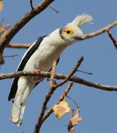 White-crested Helmet-shrike | Flickr - Photo Sharing!