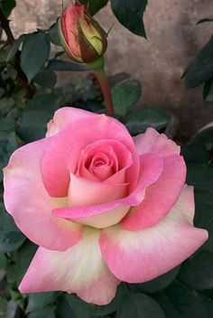 Very bright pink rose Beautiful Rose Flowers, Colorful Flowers, Pink Flowers, Growing Roses, Coming Up Roses, Hybrid Tea Roses, Flower Pictures, Red Roses, Planting Flowers