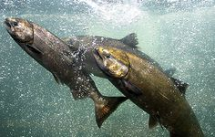 Warm water and low flows have spelled disaster for the West's salmon.