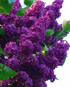 25 Dark Purple Lilac Seeds Tree Fragrant Hardy Perennial Flower Shrub Bloom Spring Early Summer Deciduous Attracts Butterflys Fast Growing by ToadstoolSeeds on Etsy Lilac Flowers, Purple Lilac, Beautiful Flowers, Dark Purple, Bush With Purple Flowers, Purple Spring Flowers, Bright Purple, Blooming Flowers, Purple Roses