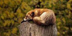 Firenze, annullato piano uccisione volpi. TAR accoglie il ricorso di LAV