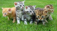 Look at these cute kittens. Kittens, puppies and babies who does not find them so cute. Share and tag with a friend you know just loves them! Cute Kittens, Cats And Kittens, Kittens Meowing, Beautiful Kittens, Animals Beautiful, Crazy Cat Lady, Crazy Cats, Cool Cats, Film Meme