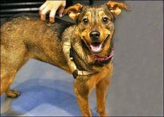 Trixie: A 1.5YO Shepherd/Terrier Mix. Hi! You look like a friend!