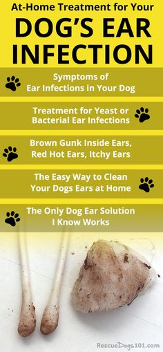 Discover how to treat your dogs ear infection without going to the vet. the number one secret to getting rid of your dogs ear infection at home is. over-the-counter dog ear infection medicine. via Rescue Dogs 101 animals animal dog animaux Dog Ear Infection Medicine, Ear Infection Home Remedies, Dogs Ears Infection, Ear Medicine For Dogs, Dog Ear Infection Treatment, Dog Ear Infection Symptoms, Dog Health Tips, Pet Health, Dog Care Tips