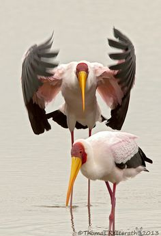 Yellow-billed Stork by photographer Thomas Retterath. A medium-sized stork found in Africa south of the Sahara and in Madagascar. via Amazing Pictures Pretty Birds, Love Birds, Beautiful Birds, Animals Beautiful, Cute Animals, Wild Animals, Exotic Birds, Colorful Birds, Storch Baby