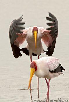 Yellow-billed Stork, Lake Magadi, Serengeti, Tanzania by Thomas Retterath