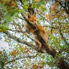 Red Fox in a Tree - Photographer unknown                                                                                                                                                                                 More