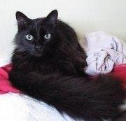 Chantilly / Tiffany Cat. Looks like my Velvet!