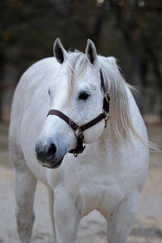 Quarter Horse stallion Fiesta Gotta Gun