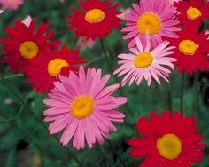 Robinsons Daisy (Tanacetum coccineaum) Unique Drawings, Flower Seeds, Color Mixing, Beautiful Flowers, Daisy, Simple, Floral, Garden, Plants