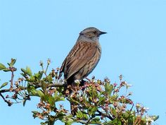 Dunnock, Clooncoose, May 2017. Photo Nick Larter