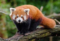#Panda #RedPanda