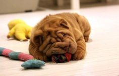 Cheeto the sharpei #sharpei #puppy #wrinklesarentallbad