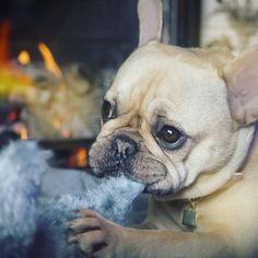 """""""Nom, nom, nom..."""", Adorable French Bulldog ❤️"""