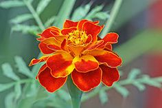 French Marigold~The plant is used in companion planting for many vegetable crops. Its root secretions kill nematodes in the soil and it is said to repel harmful insects, such as white fly amongst tomatoes.