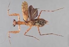 http://voices.nationalgeographic.com/files/2014/03/praying-mantis-species-liturgusa-zoae-04.jpg