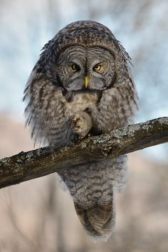 Great Grey Owl (Strix nebulosa) looks could kill by Dominic Roy Beautiful Owl, Animals Beautiful, Cute Animals, Owl Photos, Owl Pictures, Owl Bird, Pet Birds, Nocturnal Birds, Strix Nebulosa