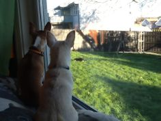 Chihuahuas watching a cat. The Buttons. http://the-buttons.tumblr.com