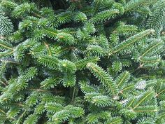 Mail Order Xmas Trees | Balsam Fir (5-6) Feet | Plantations BL ...
