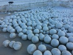 A picture of natural snowballs formed in the Gulf of Ob and photographed by Sergei Bychenkov.