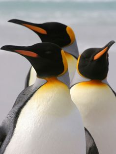 King Penguins – Aptenodytes patagonicus