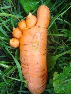 10 funny pictures of carrots Weird Fruit, Funny Fruit, Strange Fruit, Strange Flowers, Weird Plants, Unusual Plants, Fruit And Veg, Fruits And Vegetables, Funny Vegetables