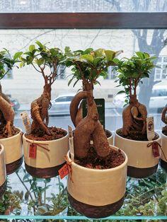 Ficus, Magnolia, Planter Pots, Magnolias, Figs, Fig, Ficus Tree