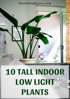 Flower Gardening For Beginners 10 Tall Indoor Low Light Plants. Here are some of the best tall indoor low light plants that will thrive through low lit areas without an issue. Find out which are the best tall indoor low light plants over the Tall Indoor Plants, Indoor Plants Low Light, Large Plants, Outdoor Plants, Low Light Houseplants, Indoor House Plants, Low Light Succulents, Best Indoor Trees, Succulents Garden