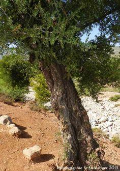 La Forêt d'arganier ou arganeraie, une beauté utile mais fragile Maroc