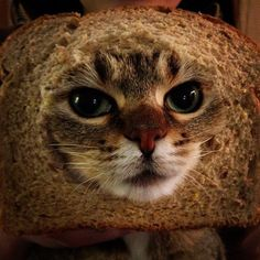 Cats...in bread. Bread on cats. Breaded cats. Inbread cats.
