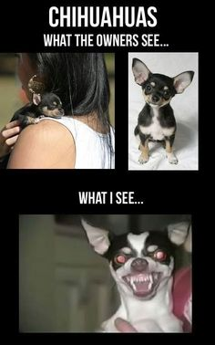 Why would you adopt Chihuahuas